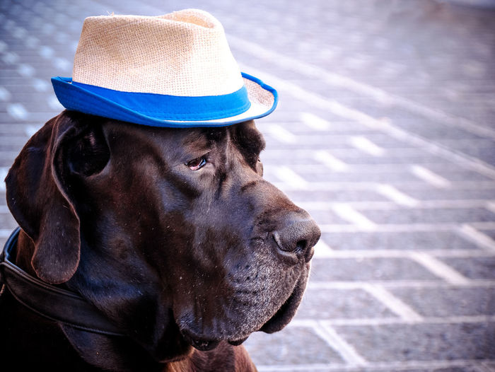 Close-up of great dane with hat on footpath