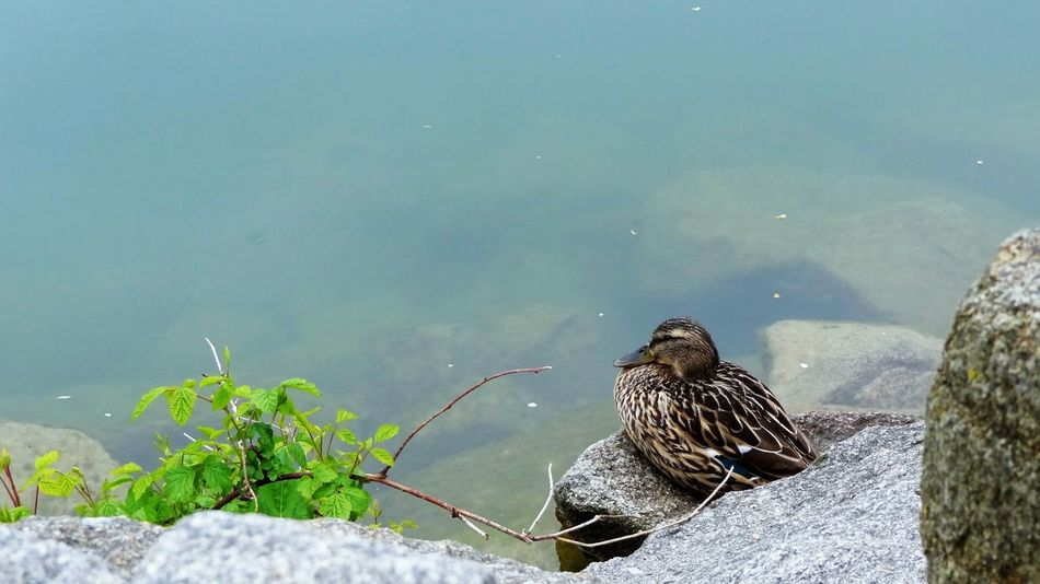 Animal Themes Animal Wildlife Animals In The Wild Beauty In Nature Bird Close-up Day Duck Lake Nature No People One Animal Outdoors Perching Plant River Rock - Object Shore Water