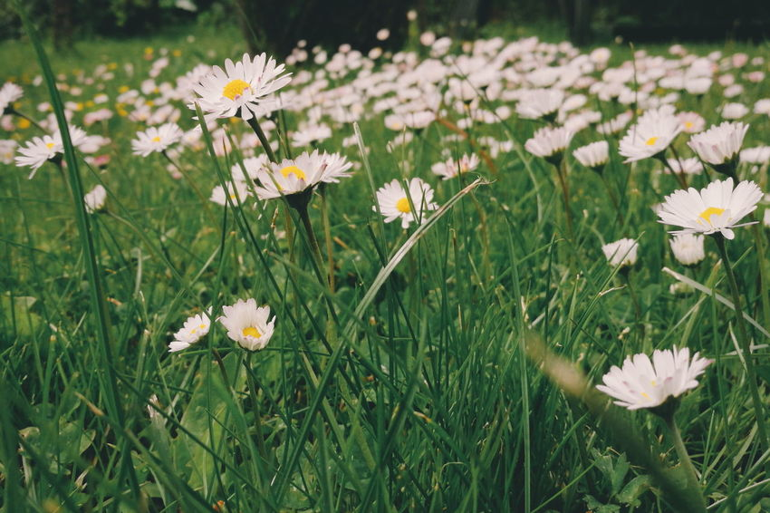 Bellis Perennis Common Daisy Flower Collection Plants And Flowers Flowers Yard Flower Mobilephotography Vscocam HuaweiP9 EyeEm Best Shots Hanging Out Taking Photos Check This Out Nature_collection