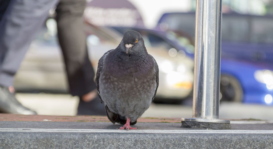 Close-up of pigeon perching on a car