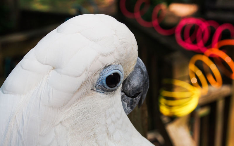 Clara the cockatoo Cockatoo Feathers Animal Themes Beak Bird Close-up Cockatoo Day Domestic Animals Exotic Pets Feather  Focus On Foreground Leafy No People One Animal Outdoors Parrot Pets Portrait White Color