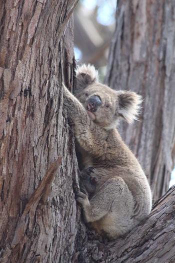Portrait of koala bear sitting on tree