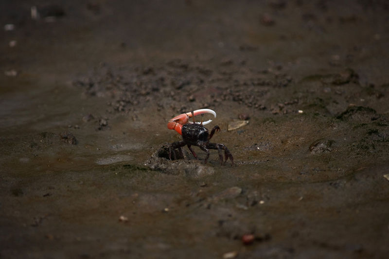 High angle view of fiddler crabs at beach
