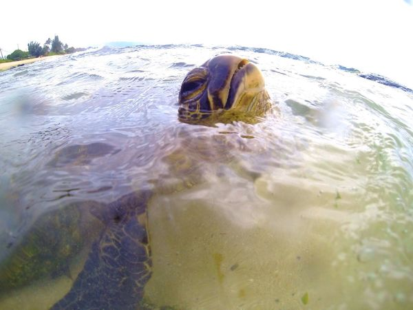 Turtle Tuesday? Turtletuesday Hawaii Northshore