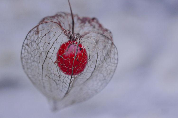 Close-up of dry winter cherry