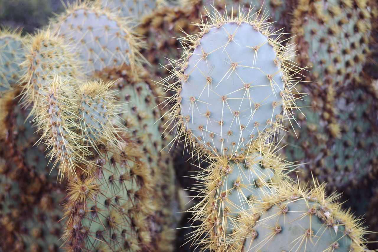 CLOSE-UP OF PRICKLY PEAR CACTUS ON PLANT