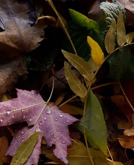 Autumn Colours Autumn Leaves Leaves 🍁 Leaves🌿 Outdoors No People Nature Close-up