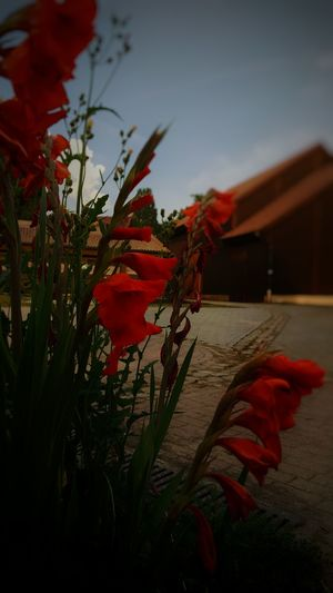 Flowers Flower Red Red Flower Building Farm Nature Nature_collection Nature Photography EyeEm Gallery Eye4photography  Taking Photos Photography No People Summertime Blue Sky Enjoying Life Enjoying The Sun Hello World Germany Schultenhof