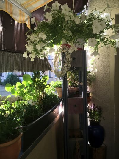 Potted plants hanging in house