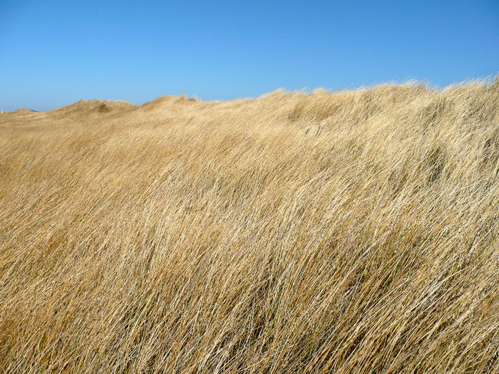 Beauty In Nature Bendding In The Wind Clear Sky Day Dunes Covered In Grass Grass Covered Sand Dunes Grasses In The Wind Growth Holiday Island Holidays Landscape Nature No People Outdoors Scenics Sky Tourism Tourist Destination Tranquil Scene Tranquility