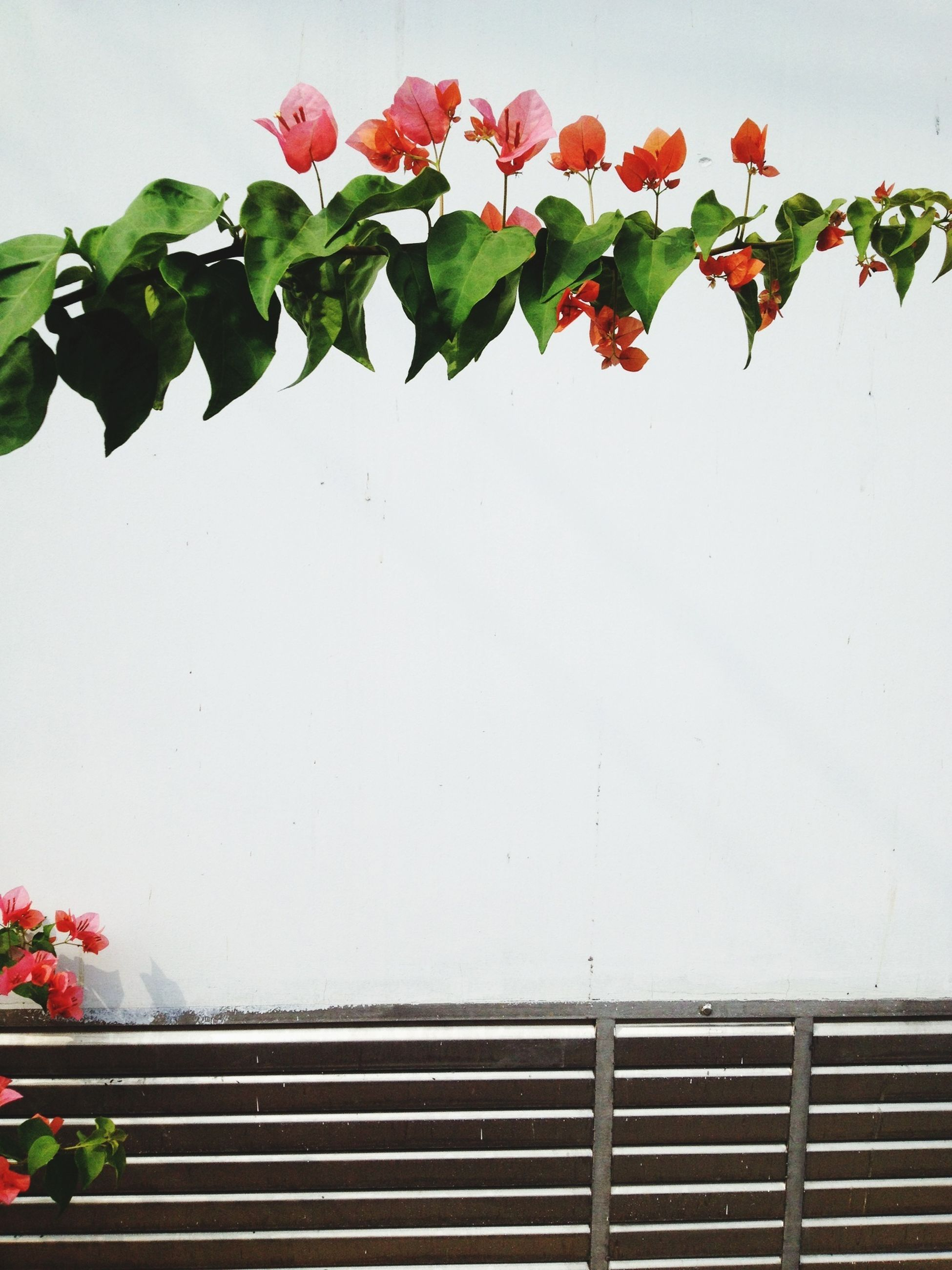 flower, growth, leaf, plant, freshness, fragility, low angle view, wall - building feature, built structure, nature, clear sky, architecture, building exterior, potted plant, beauty in nature, red, day, railing, window, wall