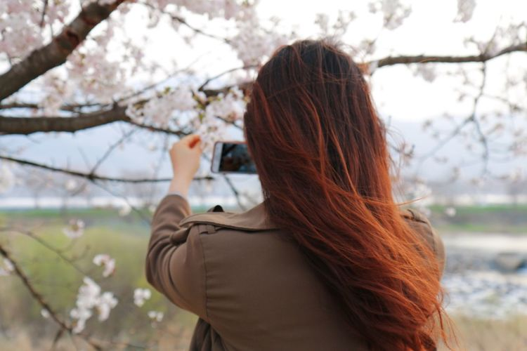 Rear View Of Woman Photographing Cherry Blossoms With Mobile Phone