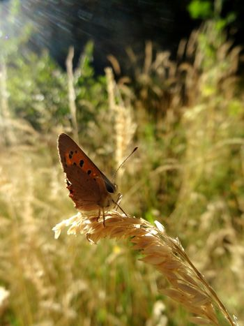 Butterfly Macro Photography Greatshot Essais Bigeyes Brown Antenna Ray Of Sunshine Grass Summer Nature Insect