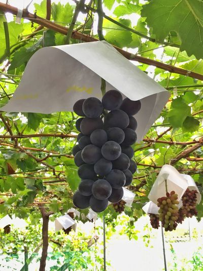 Grapes with Hats ... something I have never seen before. At a grape festival in Yamanashi Japan Fruit Nature Agriculture