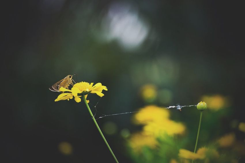 Focus On Foreground Flower Butterfly Beauty In Nature Yellow Flowers Daylight Non-urban Scene Outdoors Petal Fragility Yellow Plant Blossom Blooming In Bloom No People Stem Nature Scenics Day Botany Tranquility Freshness VSCO Vsco T1