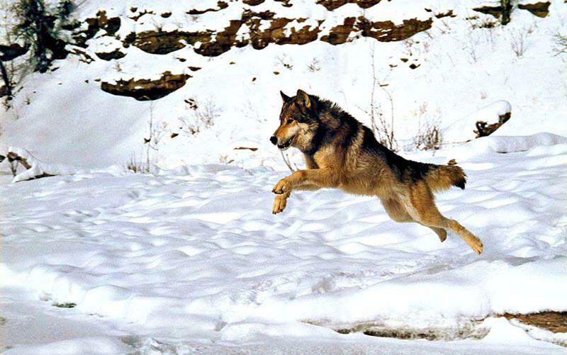 Wolf Wild Wolf Teen Wolf Animals Animal Wolf Lover Animal Wolf Amazing Animals Amazing Animal  Wolfs