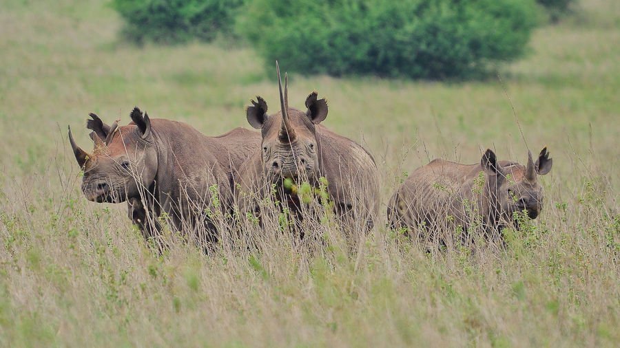 Animal Themes Animal Wildlife Animals In The Wild Beauty In Nature Day Field Grass Landscape Mammal Nature No People Outdoors Rhino Safari Animals Tree