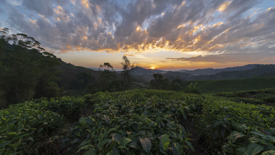 Tea Farm plantation at Cameron Highlands with dramatic sunrise scenery Sky Sunset Cloud - Sky Beauty In Nature Scenics - Nature Tranquility Tranquil Scene Plant Growth Environment Landscape Mountain Nature Non-urban Scene Land Idyllic Orange Color Field No People Tree Outdoors