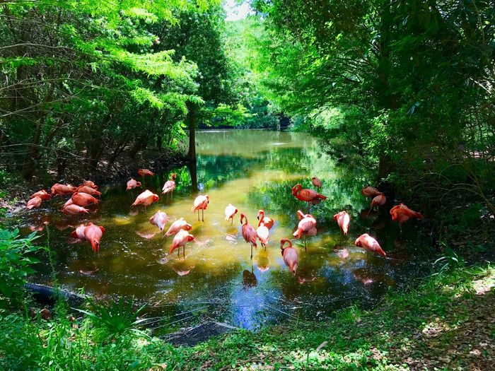 Flamingos Water