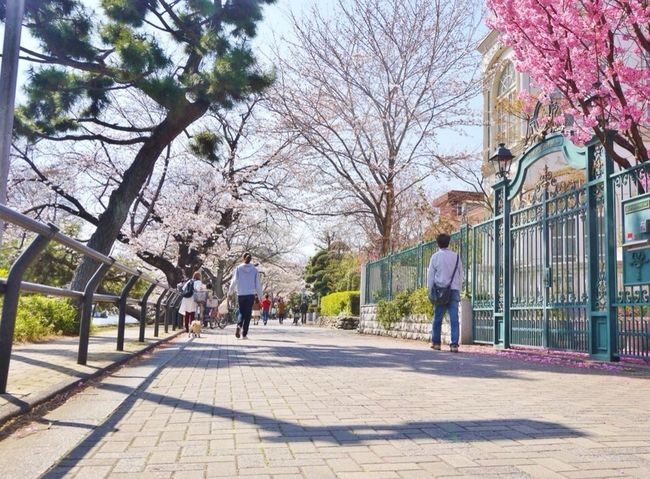 Walking Around Cherry Blossoms