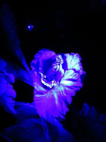 flower Nature Autumn Botanical Flowers Petals Nightgarden Inmygarden Beauty Gladiolus Fleurs Mygarden гладиолус МайяПлисецкая ночнойсад Shade Silhouette Colored Midnight Violet Neon Flower Head Blue Close-up Blooming In Bloom Pollination Single Flower Gazania Cosmos Flower Fragility