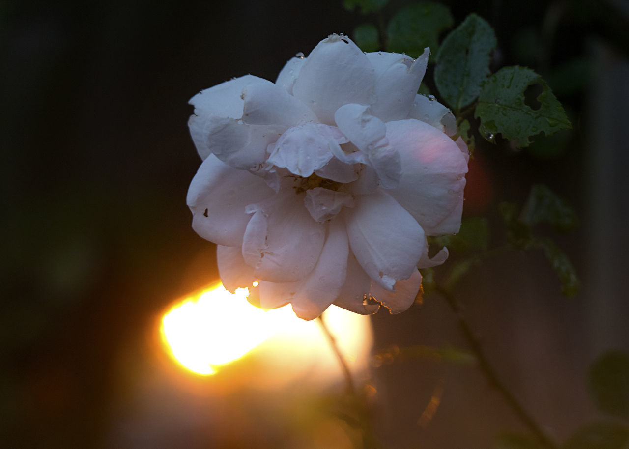 CLOSE-UP OF WHITE ROSE FLOWER OUTDOORS