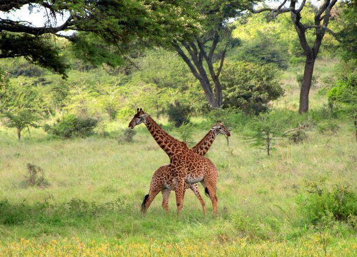 Africa Kenya Animal Themes Wildlife Tree Plant Animal Mammal Animal Wildlife Animals In The Wild Grass Nature Land Giraffe Day No People Environment Safari Outdoors Full Length Love