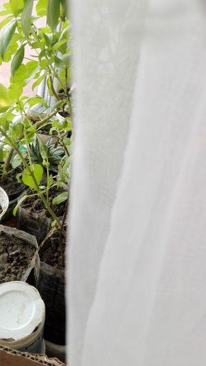 Window Plants Potted Plants Basil Plants Basil Leaves No People Plant Close-up Drape Edited By WOLFZUACHiV WOLFZUACHiV Photography Huaweiphotography Ionita Veronica Veronica Ionita Eyeem Market Huawei Photography Wolfzuachiv On Market WOLFZUACHiV Photos Edited By @WOLFZUACHiV Aloe Plant Indoor Plants Plants Through The Curtain Curtain