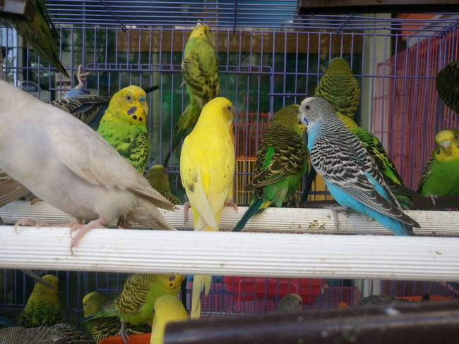 Animal Themes Animal Wildlife Animals In Captivity Bird Birdcage Budgerigar Budgerigar Cage Close-up Day Domestic Animals Macaw Metal Nature No People Outdoors Parakeet Parrot Perching Pets Trapped