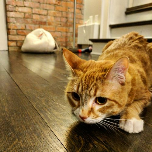 Ferocious hunter Pets Cat Mypet Feline Lion Hunter Whisker Furballs