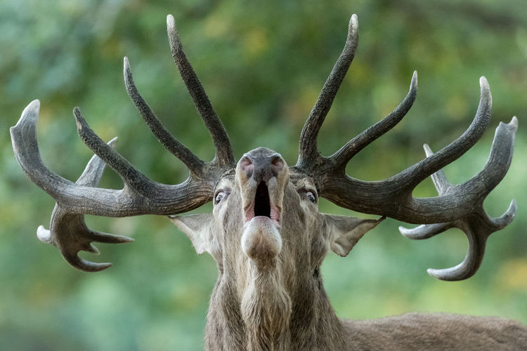 Big male deer howling in rutting season Country Stag Animal Animal Wildlife Buck Deer Male Fauna Nature Close-up Green Testosterone Wildlife Wildlife & Nature Wild Rutting Season Mammal London Richmond Park, London England Strong Animal Head  Animal Themes Antler Close-up Mammal Nature One Animal Outdoors Portrait