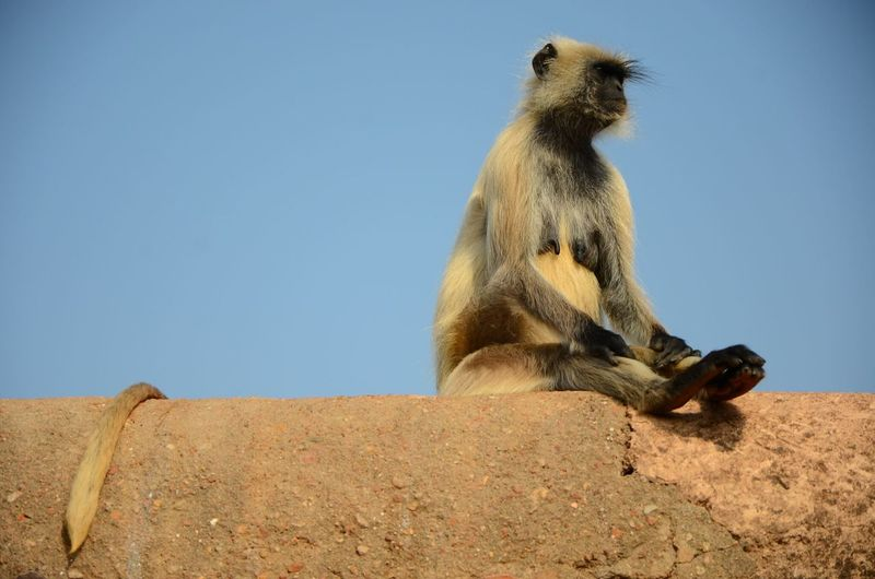 Low angle view of langur sitting on retaining wall against clear sky