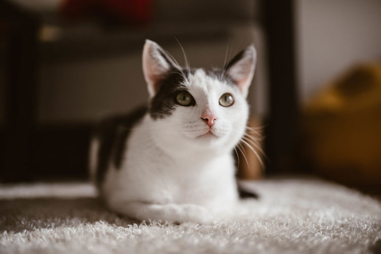 Close-up of cat sitting on rug