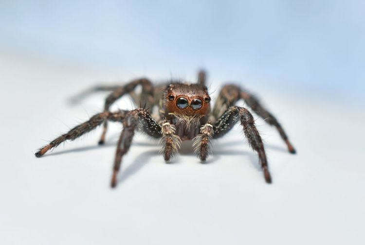 Beautiful macro with a small spider on a white background. Jumping Spider Spider Animal Leg Close-up Macro
