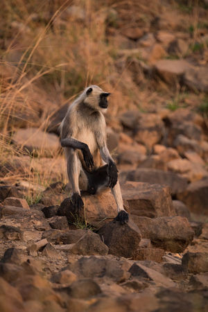 Animal Themes Animal Wildlife Animals In The Wild Day Full Length Hanuman Langur Langur Mammal Monkey Nature No People One Animal Outdoors Sitting