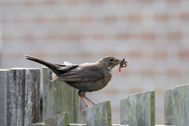 Side view of bird carrying worms while perching on wooden fence
