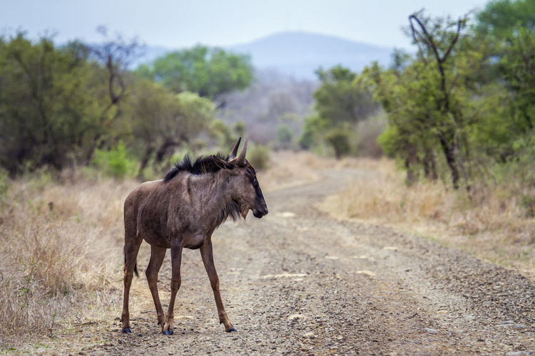 Wildebeest standing on dirt road