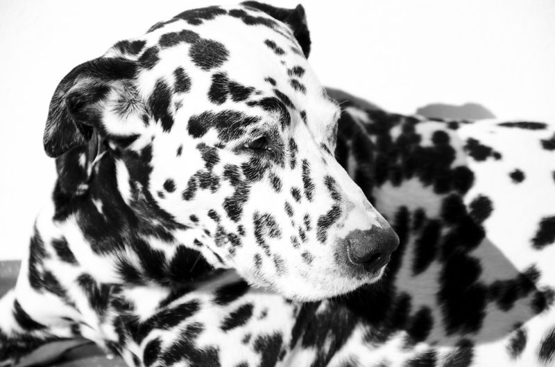 Close-Up Of Dog Looking Away While Resting At Home