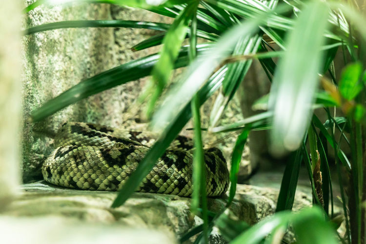 Snake in captivity 3 Plant Selective Focus Growth Nature Green Color Close-up No People Plant Part Leaf Blade Of Grass Camouflage Animal Camouflage Snake Snakes Animal In Captivity Snake In Captivity