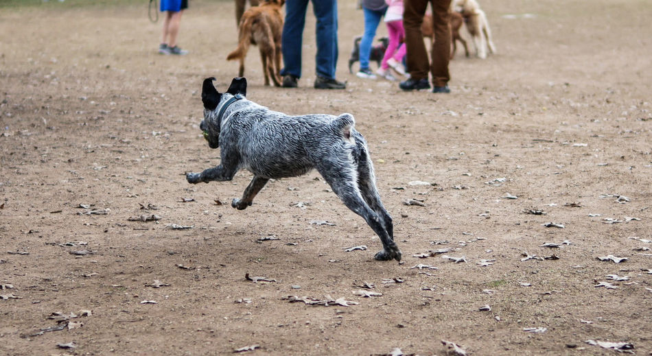 Side view photo of a gray and white dog running in motion holding tennis ball at a dog park. Dogs Canine Day Dog Domestic Domestic Animals Field Incidental People Land Low Section Mammal Nature One Animal Outdoors People Pets Standing Vertebrate Walking