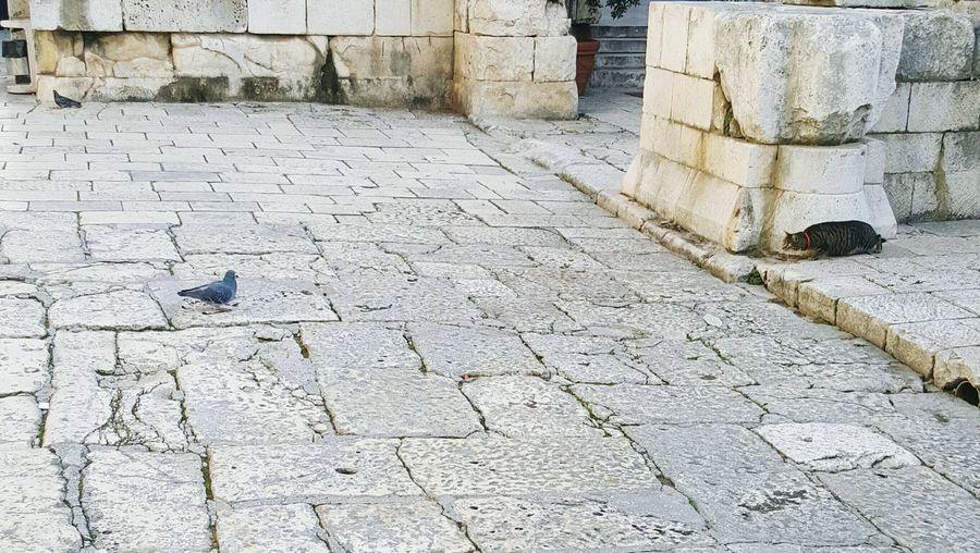 Cat Cats 🐱 Catlover Hunting Hunter Pigeon Split Croatia Dioklecijanovapalaca Palace