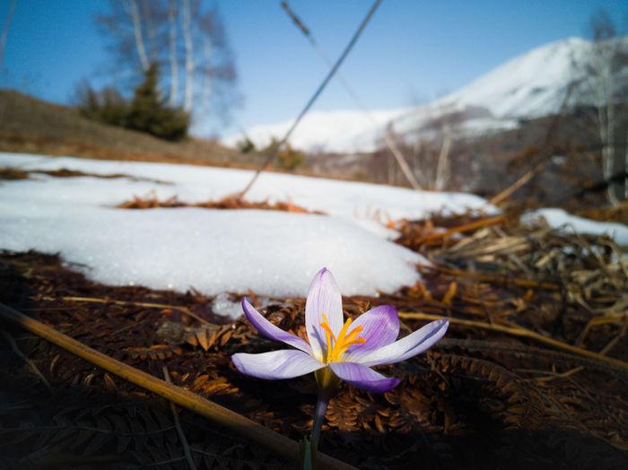 Close-up of white crocus flower in snow