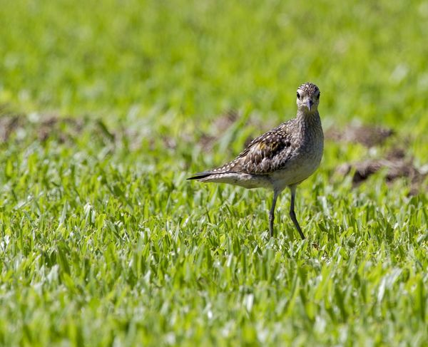Kōlea, Hawaii name for the Pacific Golden Plover. Hawaii Kolea Animal Themes Animal Wildlife Animals In The Wild Bird Close-up Day Grass Green Color Nature No People One Animal Outdoors Plover Selective Focus