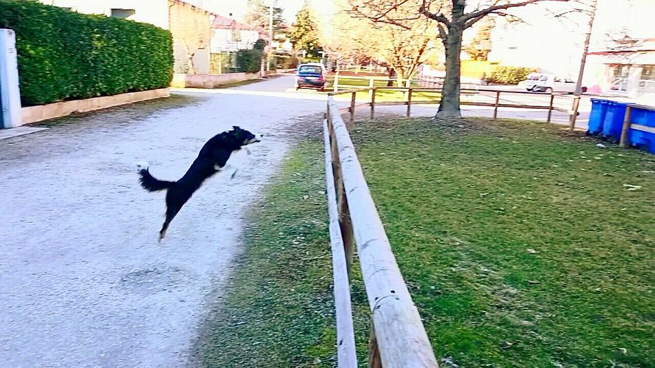 Animal Themes Pets Outdoors Nature Life Day Fotography Foto Fotografia Life Is Good Grass Sony Xperia Z3 My Smartphone Life 4zampe Dog❤ Dog Of The Day Vita Da Cani... Dogs Of EyeEm Animal Dog Outdoor Photography Staccionata Salto Dog Jumping