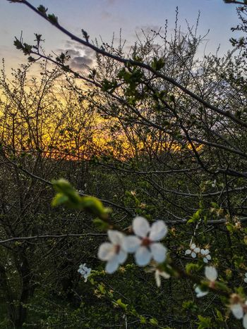 Showing Imperfection Blossom Flower Flowers Nature Nature_collection Nature Photography Blomst Blomster Denmark Danmark Photooftheday Mistake Cherry Blossoms Cherry Blossom Cherryblossom Tree Trees Landscape Landscapes With WhiteWall Landscape_Collection Landscape_photography EyeEm EyeEmFlower EyeEmPaid