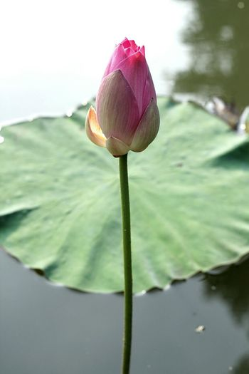 Lotus in the garden Beauty In Nature Flower Lotus Flower Garden Beauty In Nature Eyemphotography Fotografi Photography EyeEm Water Nature Flower Head Close-up Pink Color Green Color Growth Freshness Orchid Outdoors No People Day