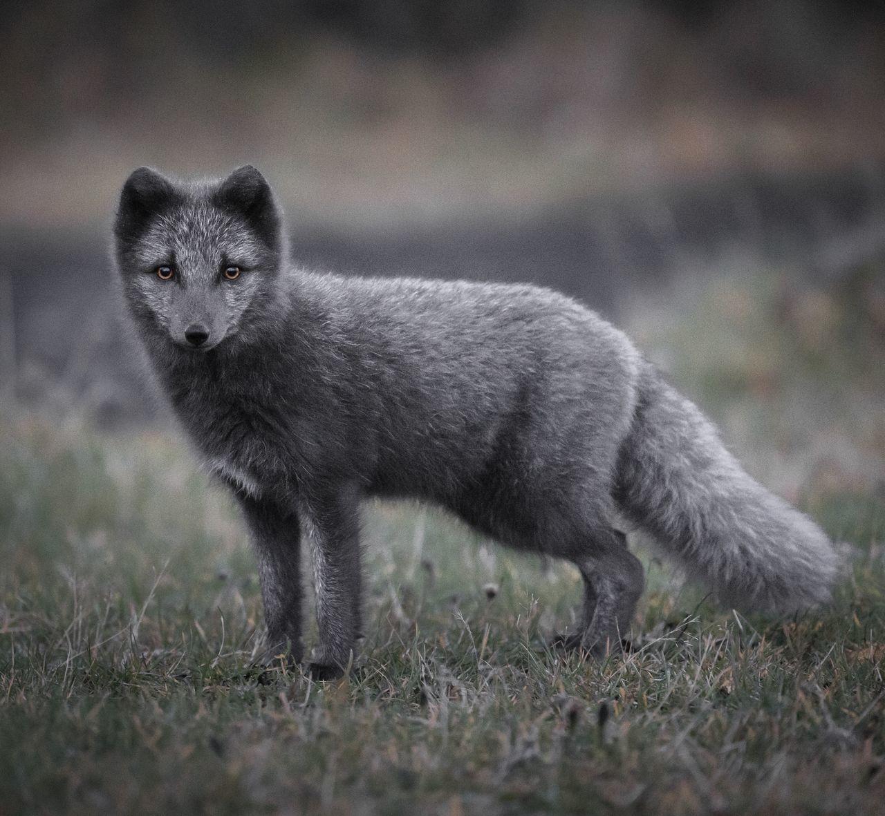 Portrait of fox standing on field