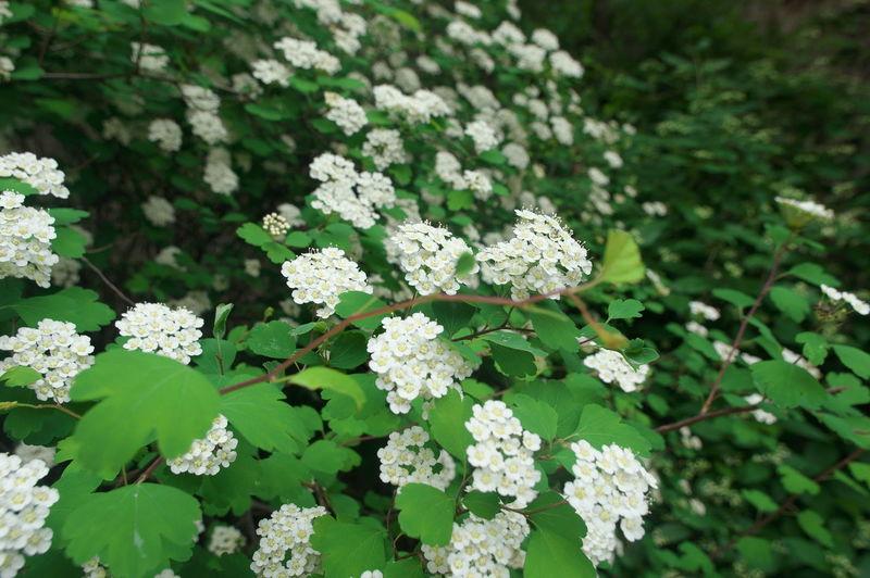 小白花 Flower Leaf Summer Plant Part White Color Close-up Plant