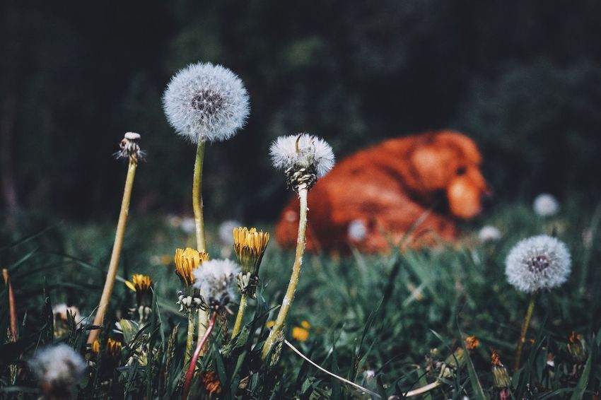 Flower Nature Growth Fragility Dandelion Plant Beauty In Nature Flower Head Green Color EyeEm Best Shots Spring Grass Fujifilm_xseries Stem Uncultivated Wildflower Freshness No People Field Outdoors Day Tranquility Close-up Grass The Great Outdoors - 2017 EyeEm Awards