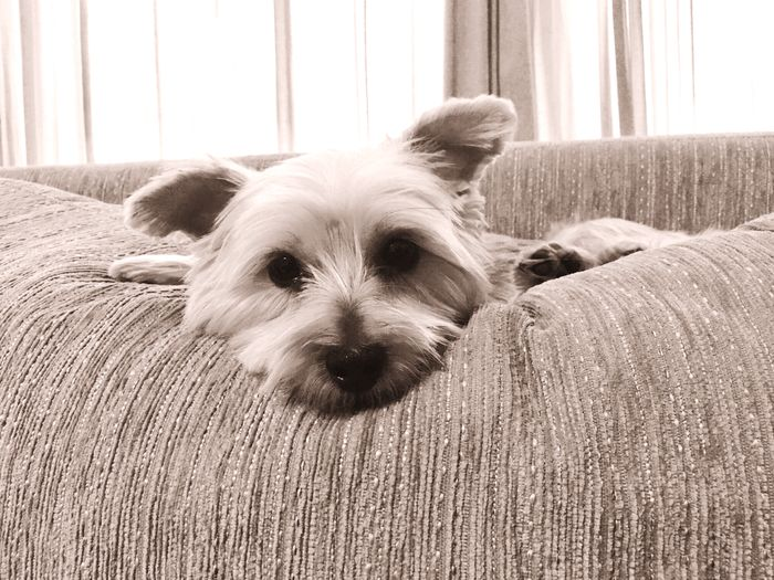 A cute little dog (yorkshire) is comfortably sitting on her favorite sofa and looking on you. Little Cuteness Cute Cute Little Dog Little Dog Cute Dog  Yorkshire Animal Pet Dog One Animal Domestic Animals Animal Themes Looking At Camera Indoors  No People Close-up First Eyeem Photo